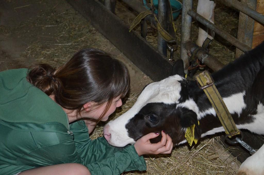 carezzare un vitello