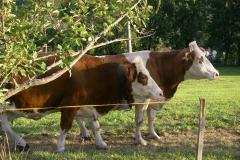 mucche nel prato
