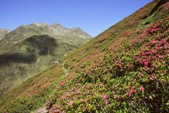 Terento - rododendro